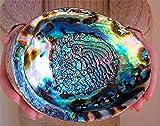Kissmoj Large Paua Seashell Green Abalone Smudging Beach House Decor Natural Rainbow Big