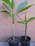 2 Rooted Plumeria Plant Kaneohe Sunset Celadine Live Plants Beauty