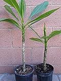 2 Rooted Plumeria Plant Kaneohe Sunset Celadine Live Plants Beauty