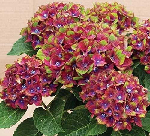 New Life Nursery & Garden- - Pistachio Next Generation Hydrangea, Trade Gallon Pot by New Life Nursery & Garden