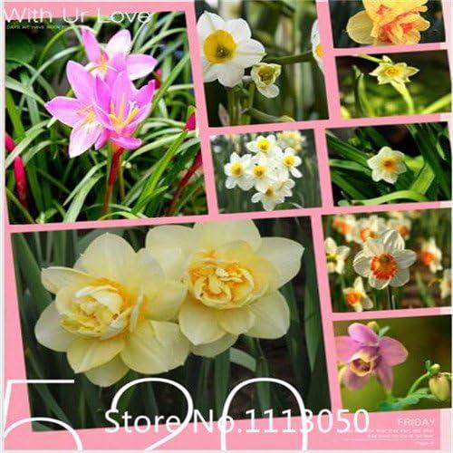 Rojo: jardín de invierno de interior flor-venta caliente 1 piezas semillas de narciso bulbos de flores de narciso bonsai diy jardín de su casa para chri: Amazon.es: Jardín
