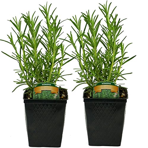 (Stargazer Perennials Live Rosemary Plant - Set of 2 Hardy Rosemary Plants Grown Organic Non-GMO USA Great Container Herbs Shipped Potted)