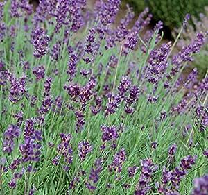 Seed Savers 1248 Herb Hidcote Lavender Seed Packet