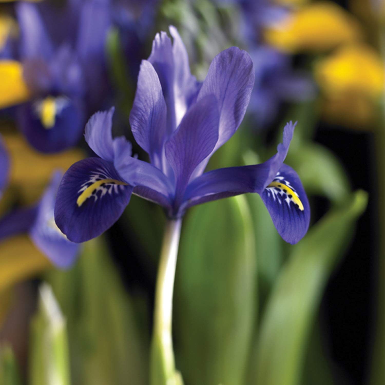 Burpee's Harmony Iris Reticulata - 15 Flower Bulbs   Blue   6 - 8 cm Bulb Diameter