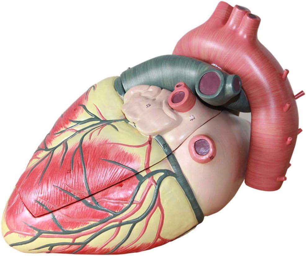 HXHH Médico Modelo del corazón Humano, Desmontable con Digital Cardiología, Doppler Color y Modelo Cardiovascular, Adecuado para los Estudiantes, Profesores y Profesionales