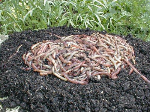 Kompostwürmer, Gartenwürmer, Regenwürmer - 0,5 Kg