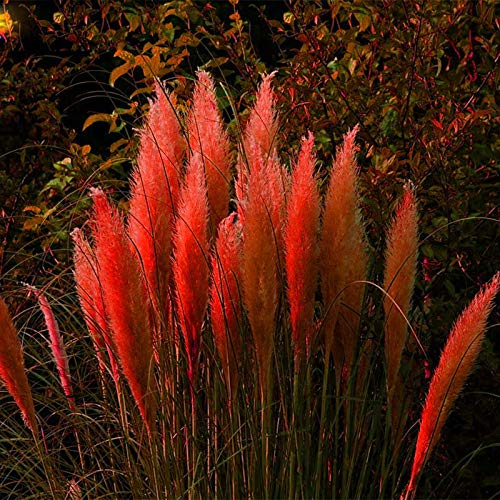 600PCS Pampas Grass Seed Colourful Home Garden Plants Are Very Beautiful  flower