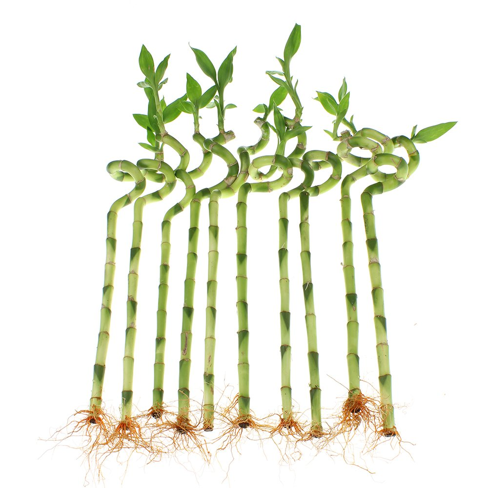 NW Wholesaler - 24'' Spiral Lucky Bamboo Bundle of 10 Stalks by NW Wholesaler (Image #2)