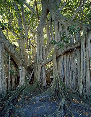 18 x 24 Art Canvas Print of Giant banyan tree outside the winter home and laboratory of Thomas Edison Fort Myers Florida r39 [between 1980 and 2006] by Highsmith, Carol - Myers Fort Edison