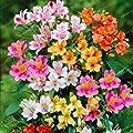 100pcs Alstroemeria seeds Peruvian Lily Alstroemeria Inca Bandit- Princess lily bonsai flower seeds planta for home garden