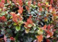 "Scarlet Ovation Evergreen Huckleberry - Vaccinium ovatum - 2.5"" Pot"
