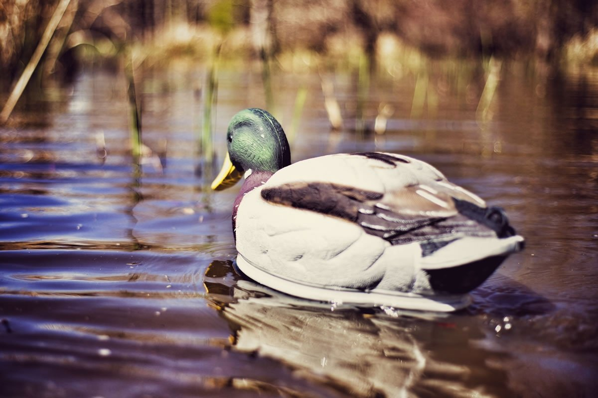 MOJO Outdoors Swimmer Mallard Duck Decoy by MOJO Outdoors (Image #4)