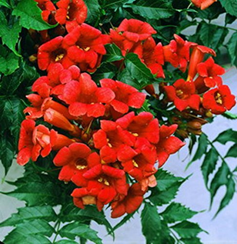 Rare Dark Red Hummingbird Trumpet Vine! HARDY! 20 seeds! HummingBirds Love It! (Vine Hummingbird)