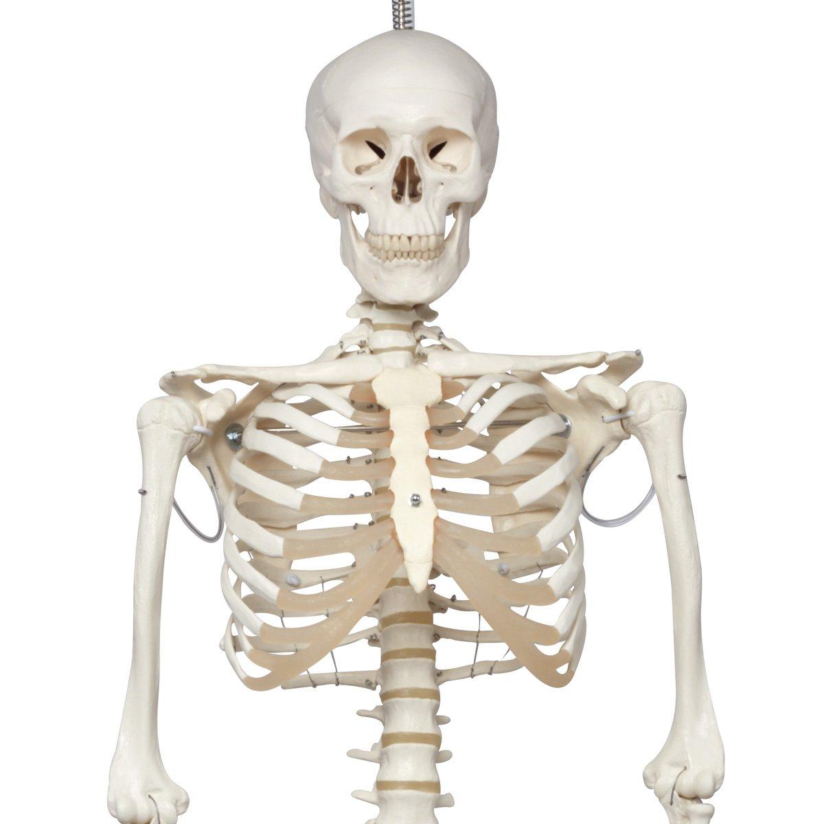 【税込?送料無料】 フィル理学療法用骨格モデル,吊り下げ型スタンド仕様 B006YWZY68 B006YWZY68, 日学オンラインストア:fb2b9faa --- a0267596.xsph.ru