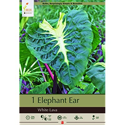 White Lava Elephant Ear 1 Bulb 9/11cm - Alocasia - Cream Markings : Garden & Outdoor