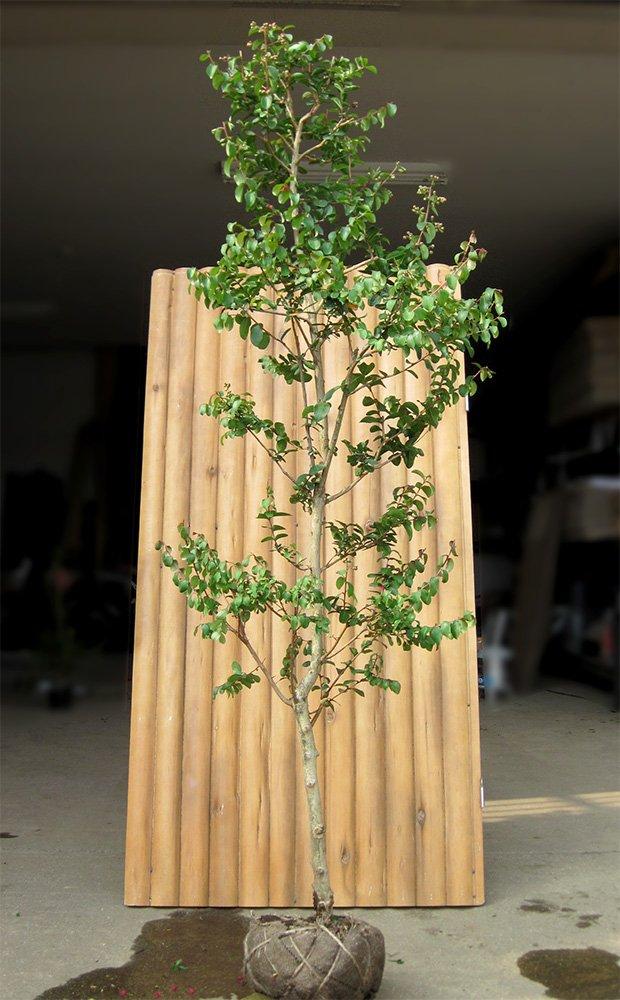サルスベリ  カントリーレッド  樹高2.0m前後 夏を代表する花木☆シンボルツリー庭木に最適!! B00AQ7KKXE