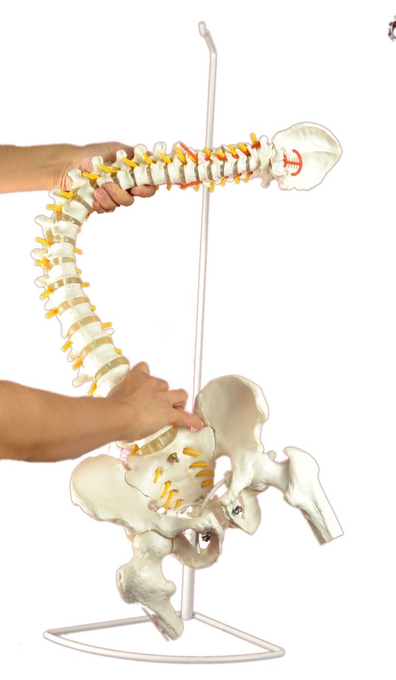 """Super Flexible Spine Model with Pelvis and Femur Heads, Life Size, 87cm/34"""""""