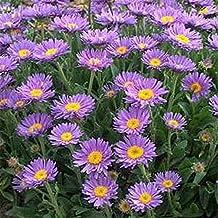 Aster - Alpinus Blue- 50 Seeds