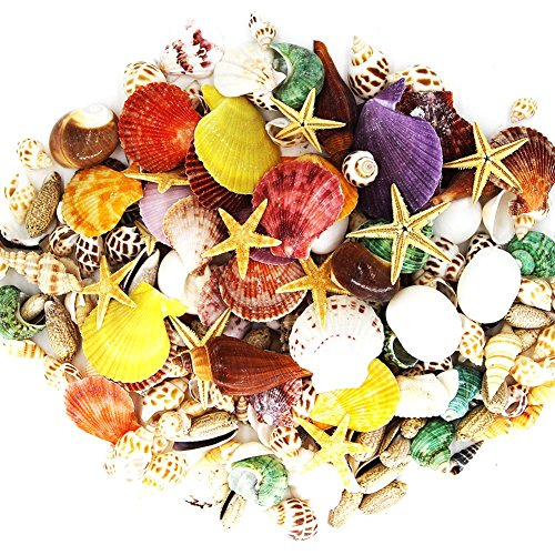 Buy 200 sea shells bulk mixed beach seashells
