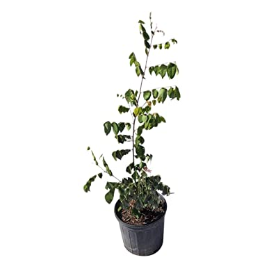 Sri Kembangan Star Fruit Carambola Fruit Tree for Sale, Grafted, 3-Gal Container from Florida : Garden & Outdoor