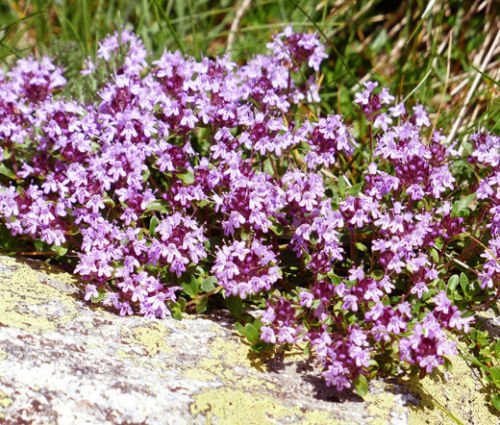 CREEPING THYME Thymus Serpyllum - 30,000 Bulk Seeds by Seed Empire (Image #1)