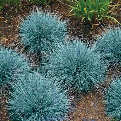 Blue Fescue seeds - Festuca glauca ()
