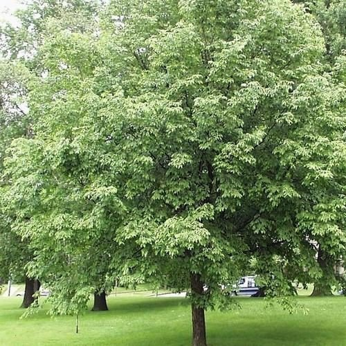 Ironwood Hophornbeam Tree Seeds (Ostrya virginiana) 30+Seeds
