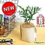 LAND PLANTS 縁結びの木 梛(ナギ) 麻袋鉢カバーセット