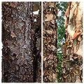 Homegrown Packet Birch Seeds, 100 Seeds, Betula Nigra