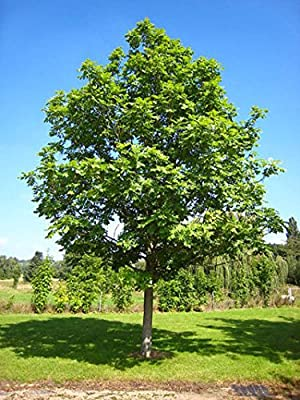 106 pcs/pkt Diversifolia European Ash Tree Seeds For Planting