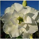 Adenium obesum Whitehouse - Wüstenrose - 3 Samen