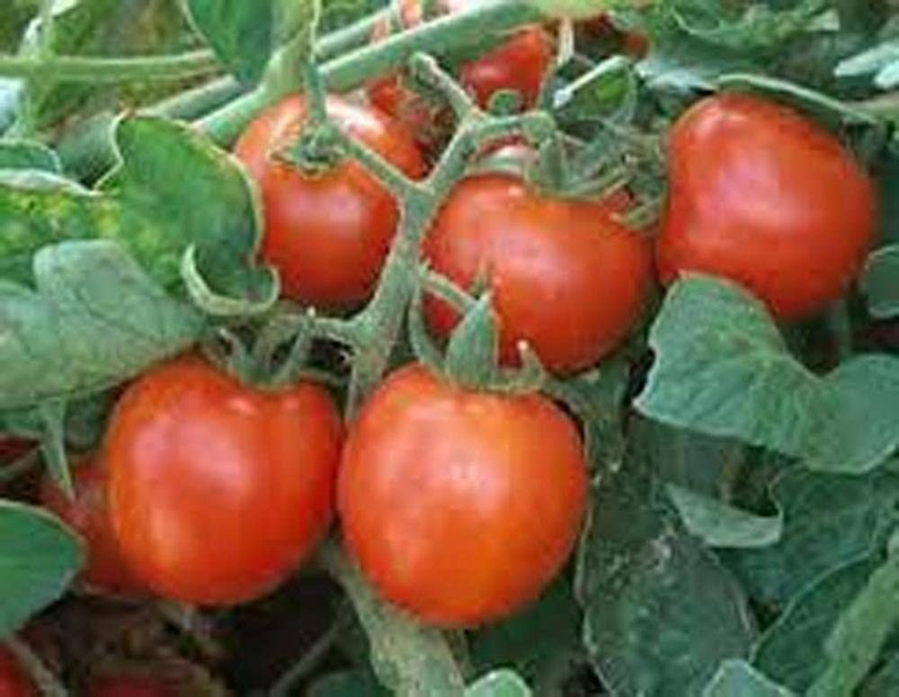 Tomato, Sweet Large Cherry Tomato Seeds, Heirloom, 100 Seeds, Tasty, Great for Salads