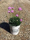 Thrift, Seapink (Pink) aka Armeria alliacea Live Plant Fit 1 Gallon Pot