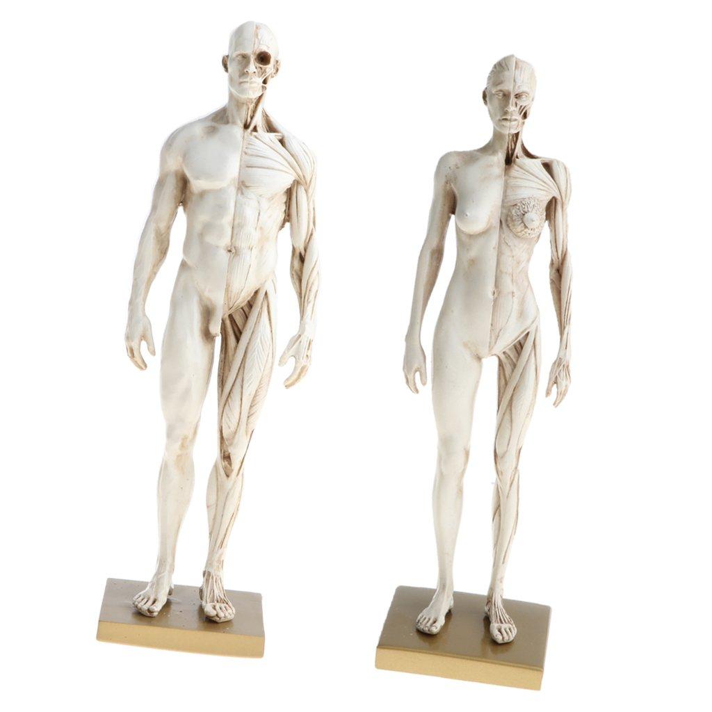 Buy Magideal 11 Inch Female Male Anatomy Figure Model Anatomical