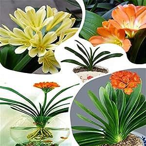 Clivia flor de flores Semillas bonsai gran venta venta caliente 500pcs jardín de DIY el envío libre