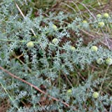 Plant World Seeds - Asparagus Acutifolius Seeds