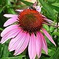 200+ Purple Coneflower (Echinacea) Flower Seeds (Bulk) Perennial Wildflower