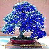 100% Real Japanese Ghost Blue Maple Tree Bonsai Seeds, 10 Seeds/Pack, Acer palmatum atropurpureum, Bonsai SOW ALL YEAR