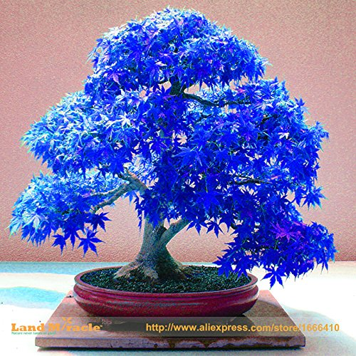 100% Real Japanese Blue Maple Tree Bonsai Seeds, 10 Seeds/Pack, Acer palmatum atropurpureum, Bonsai SOW ALL YEAR SUVERAAN