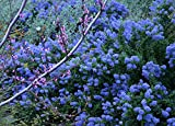 California Lilac Aka Ceanothus 'Frosty Blue' Live Plant Shrubs Plant Fit 05 Gallon Pot