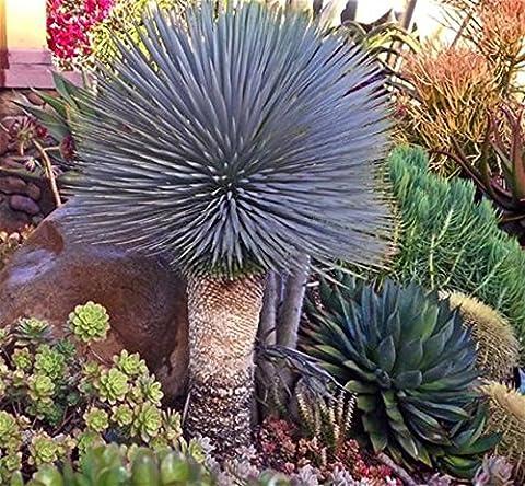 YUCCA ROSTRATA exotic blue color joshua tree hardy desert caudex cacti 4