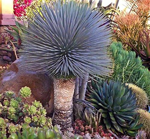 Yucca ROSTRATA Exotic Blue Color Joshua Tree Hardy Desert Caudex Cacti 4'' Plant