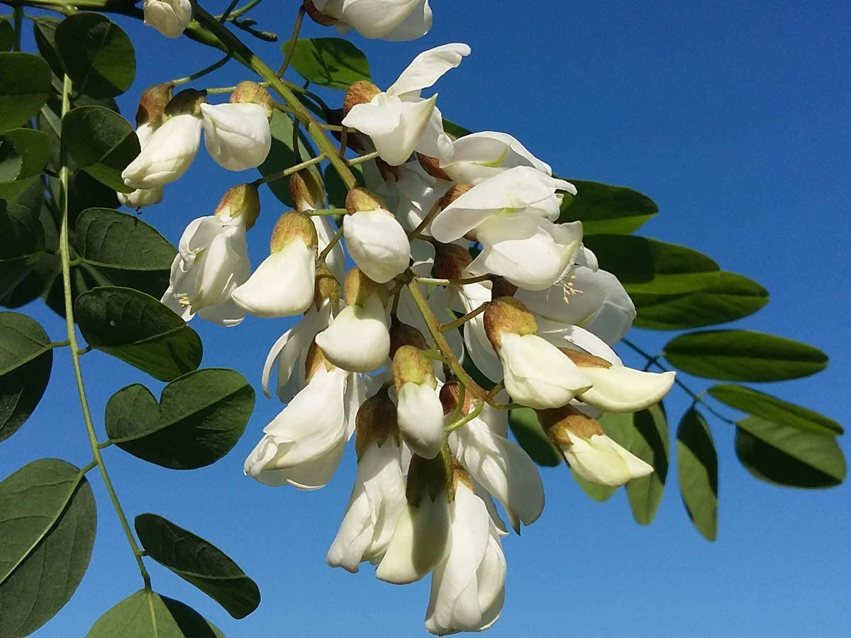 15-20cm Plant in an 7//8cm Pot deciduous Robinia pseudoacacia Black Locust Rarely Offered fragranced Pea-Like Flowers Great for UK Climate