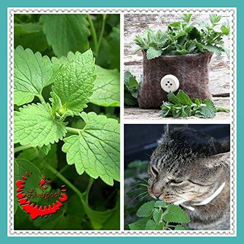 50 semillas Catnip Nepeta Cataria Hierbas del gato de la semilla del amor para Bonsai Inicio Jardín Planta D033: Amazon.es: Jardín