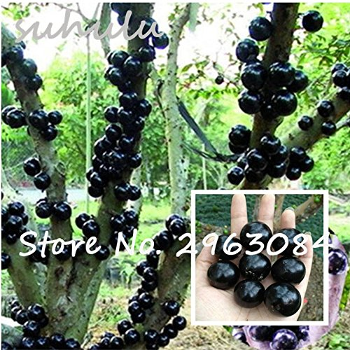 Ornamental Plant Plinia Cauliflora Seeds 100Pcs Family Myrtaceae Jabuticaba Fruit Seeds Novel Plant Brazilian Grape Tree Seeds