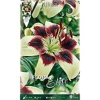 Bulbos Primaverales Lilium Asiatic PatRICIA'S sin paquete