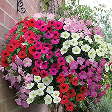 Amazon Com 1000 Seeds Dwarf Petunia Garden Mix Excellent In