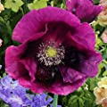 David's Garden Seeds Flower Poppy Lauren's Grape SL7439 (Purple) 100 Open Pollinated Seeds