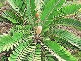 CARDBOARD palm, Zamia Furfuracea sago cycad plant tree mexican seed - 10 seeds