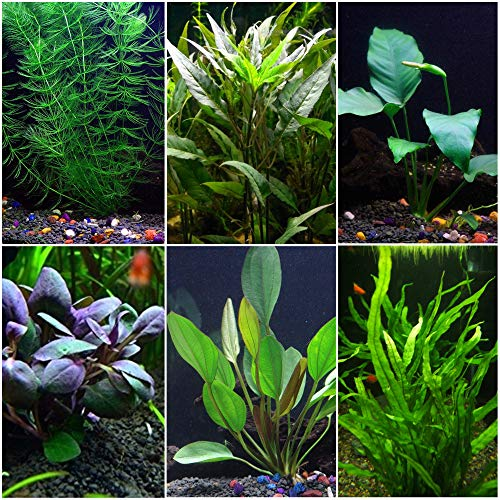Goldfish Aquarium Plant Bundle